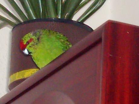 Tak tenhle pták se mnou bydlí taky.. všude lítá a .... takže musím všude uklízet bobky...Ale je to můj Leošek