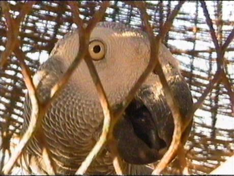 Papoušek správňáckej !764!