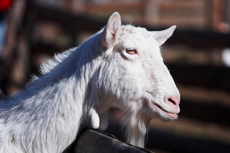 ZOO - miluju kozy!!!!!!!!!  !11! a vy???? ;)))))