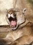 Puma .. zývačka